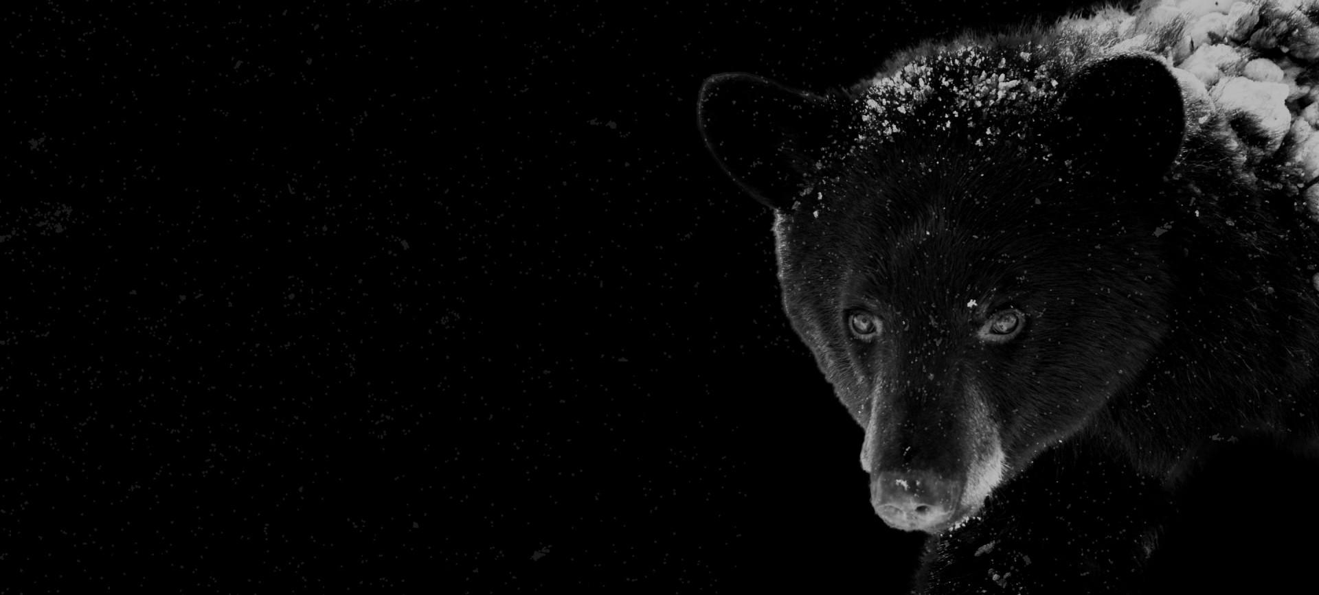 Photo d'un ours brun en hiver